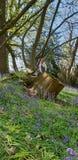 Όμορφα μπλε ξύλα κουδουνιών Στοκ Εικόνες
