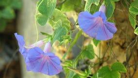 όμορφα μπλε στενά λουλούδια επάνω απόθεμα βίντεο