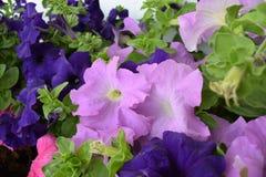 Όμορφα μπλε και πορφυρά λουλούδια Στοκ φωτογραφία με δικαίωμα ελεύθερης χρήσης
