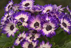 όμορφα μπλε στενά λουλούδια επάνω Στοκ Φωτογραφία