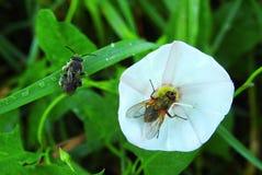 Όμορφα μύγα και ζωύφιο στο άσπρο λουλούδι, Λιθουανία Στοκ φωτογραφίες με δικαίωμα ελεύθερης χρήσης
