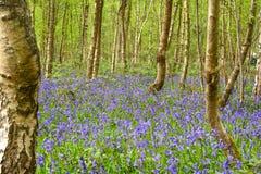 Όμορφα ξύλα bluebell Στοκ εικόνα με δικαίωμα ελεύθερης χρήσης
