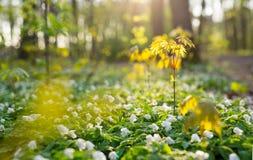 Όμορφα ξύλινα λουλούδια anemone στο δάσος Στοκ εικόνα με δικαίωμα ελεύθερης χρήσης