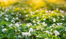 Όμορφα ξύλινα λουλούδια anemone στο δάσος Στοκ Εικόνα