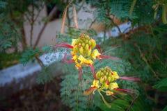 Όμορφα ονειροπόλα μαγικά κίτρινα λουλούδια νεράιδων με το σκούρο πράσινο μπλε πορφυρό υπόβαθρο φύλλων Στοκ Φωτογραφίες