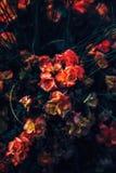 Όμορφα ονειροπόλα μαγικά κόκκινα και κίτρινα λουλούδια νεράιδων με τα σκούρο πράσινο φύλλα Στοκ Εικόνες