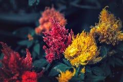 Όμορφα ονειροπόλα μαγικά κόκκινα και κίτρινα λουλούδια νεράιδων με τα σκούρο πράσινο φύλλα Στοκ εικόνες με δικαίωμα ελεύθερης χρήσης