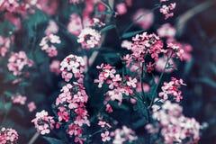 Όμορφα ονειροπόλα μαγικά κόκκινα ρόδινα λουλούδια νεράιδων με τα σκούρο πράσινο φύλλα Στοκ εικόνες με δικαίωμα ελεύθερης χρήσης