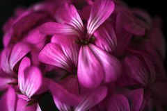 Όμορφα ονειροπόλα μαγικά ρόδινα πορφυρά λουλούδια νεράιδων στο εξασθενισμένο μουτζουρωμένο υπόβαθρο Στοκ Εικόνα