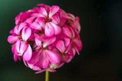 Όμορφα ονειροπόλα μαγικά ρόδινα πορφυρά λουλούδια νεράιδων στο εξασθενισμένο μουτζουρωμένο υπόβαθρο Στοκ εικόνα με δικαίωμα ελεύθερης χρήσης