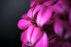 Όμορφα ονειροπόλα μαγικά ρόδινα πορφυρά λουλούδια νεράιδων στο εξασθενισμένο μουτζουρωμένο υπόβαθρο Στοκ Εικόνες