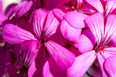 Όμορφα ονειροπόλα μαγικά ρόδινα πορφυρά λουλούδια νεράιδων στο εξασθενισμένο μουτζουρωμένο υπόβαθρο Στοκ φωτογραφίες με δικαίωμα ελεύθερης χρήσης