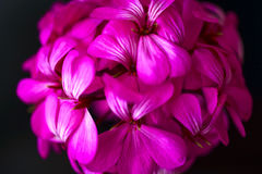 Όμορφα ονειροπόλα μαγικά ρόδινα πορφυρά λουλούδια νεράιδων στο εξασθενισμένο μουτζουρωμένο υπόβαθρο Στοκ Φωτογραφίες
