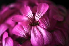 Όμορφα ονειροπόλα μαγικά ρόδινα πορφυρά λουλούδια νεράιδων στο εξασθενισμένο μουτζουρωμένο υπόβαθρο Στοκ εικόνες με δικαίωμα ελεύθερης χρήσης