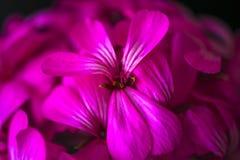 Όμορφα ονειροπόλα μαγικά ρόδινα πορφυρά λουλούδια νεράιδων στο εξασθενισμένο μουτζουρωμένο υπόβαθρο Στοκ Φωτογραφία