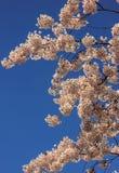 Όμορφα λουλούδια ανθών κερασιών στο σαφή μπλε ουρανό Στοκ Φωτογραφίες