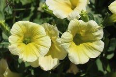 όμορφα λουλούδια κίτρινα Στοκ Φωτογραφίες