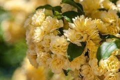 όμορφα λουλούδια κίτρινα Artek Ουκρανία Στοκ φωτογραφίες με δικαίωμα ελεύθερης χρήσης