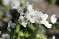 Όμορφα λουλούδια κούκων Στοκ φωτογραφία με δικαίωμα ελεύθερης χρήσης