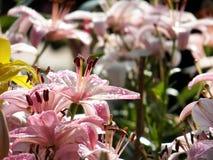 Όμορφα λουλούδια κρίνων Στοκ Εικόνα