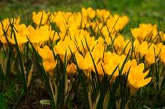 Όμορφα λουλούδια κρόκων στον κήπο Στοκ εικόνα με δικαίωμα ελεύθερης χρήσης