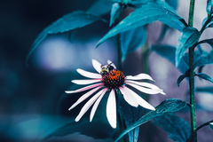 Όμορφα λουλούδια μαργαριτών νεράιδων ονειροπόλα μαγικά άσπρα με τα σκούρο πράσινο φύλλα Στοκ φωτογραφία με δικαίωμα ελεύθερης χρήσης