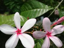 Όμορφα λουλούδια με το φύλλο του Στοκ Εικόνες