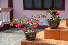 Όμορφα λουλούδια στα δοχεία στο Βιετνάμ Στοκ Εικόνες