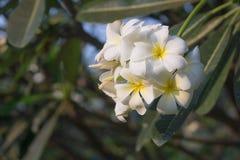 Όμορφα λουλούδια στην Ταϊλάνδη Στοκ εικόνα με δικαίωμα ελεύθερης χρήσης