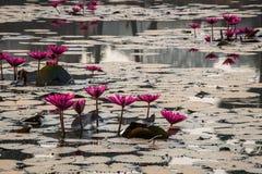 Όμορφα λουλούδια στη λίβρα κυριών είσοδος Angkor Wat Καμπότζη. Νοτιοανατολική Ασία. Στοκ Εικόνες