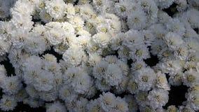 Όμορφα λουλούδια στον κήπο κάτω από το χειμερινό ήλιο στοκ εικόνες
