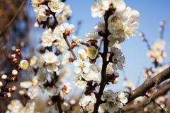 Όμορφα λουλούδια στο δέντρο μηλιάς στη φύση Στοκ Εικόνα