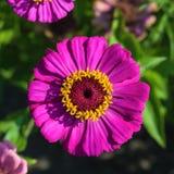 Όμορφα λουλούδια της πορφυρής Zinnia στη φύση Στοκ φωτογραφία με δικαίωμα ελεύθερης χρήσης