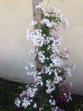 Όμορφα λουλούδια της Jasmine Στοκ φωτογραφία με δικαίωμα ελεύθερης χρήσης