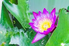Όμορφα λουλούδια λωτού Στοκ Εικόνες