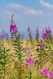 Όμορφα λουλούδια angustifolium Chamerion στα βουνά στη θερινή ημέρα Στοκ εικόνα με δικαίωμα ελεύθερης χρήσης