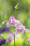 Όμορφα λουλούδια aquilegia Στοκ Φωτογραφίες
