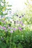 Όμορφα λουλούδια aquilegia Στοκ εικόνα με δικαίωμα ελεύθερης χρήσης