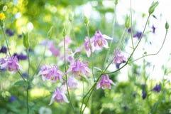 Όμορφα λουλούδια aquilegia Στοκ Εικόνα