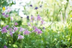 Όμορφα λουλούδια aquilegia Στοκ φωτογραφία με δικαίωμα ελεύθερης χρήσης