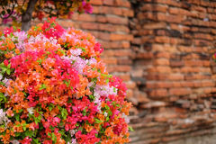 Όμορφα λουλούδια Bougainvillea που ανθίζουν στον κήπο με Στοκ Φωτογραφίες