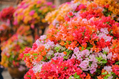 Όμορφα λουλούδια Bougainvillea που ανθίζουν στον κήπο Στοκ Εικόνες
