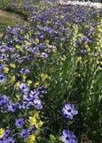 Όμορφα λουλούδια, coronaria Anemone Στοκ Φωτογραφίες