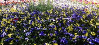 Όμορφα λουλούδια, coronaria Anemone Στοκ φωτογραφίες με δικαίωμα ελεύθερης χρήσης