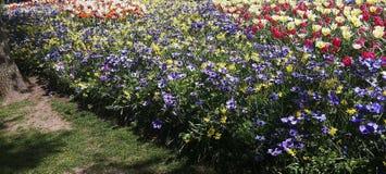 Όμορφα λουλούδια, coronaria Anemone Στοκ Εικόνα