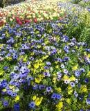Όμορφα λουλούδια, coronaria Anemone Στοκ εικόνες με δικαίωμα ελεύθερης χρήσης
