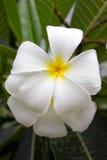 Όμορφα λουλούδια frangipani στο δέντρο. Στοκ φωτογραφίες με δικαίωμα ελεύθερης χρήσης