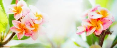 Όμορφα λουλούδια frangipani στο ηλιόλουστο τροπικό υπόβαθρο φύσης Στοκ Εικόνες