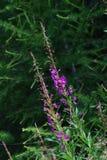Όμορφα λουλούδια Fucsia στους δολομίτες Στοκ φωτογραφία με δικαίωμα ελεύθερης χρήσης