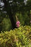 Όμορφα λουλούδια Fucsia στους δολομίτες Στοκ Φωτογραφία